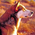 Wolf_Dog-150x150