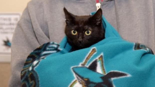 Jo Paw-velski, a female cat spin on Sharks captain Joe Pavelski's name