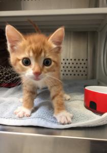 Surrey-Kitten