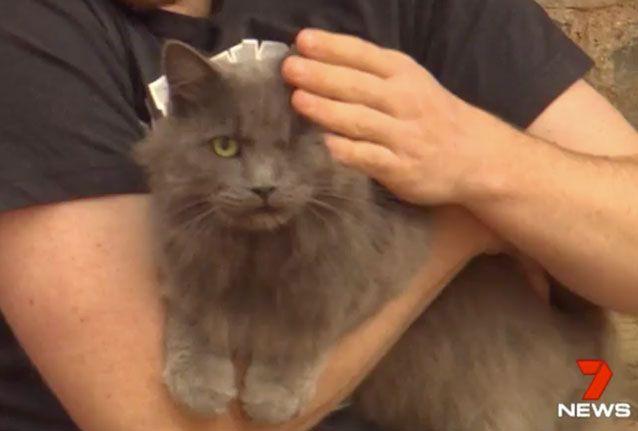 Australian cat Mannie